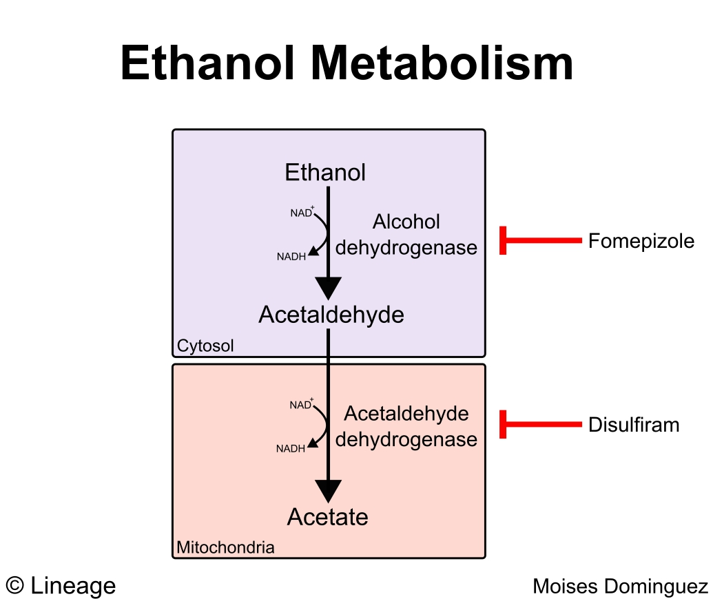 hight resolution of ethanol metabolism presence of decreased nad levels play a major role in altered metabolism